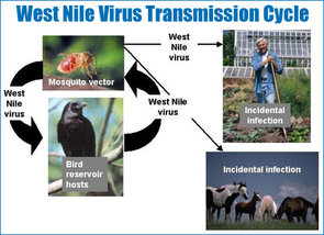 West Nile Virus Facts